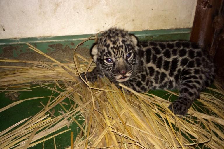 ジャガー赤ちゃん