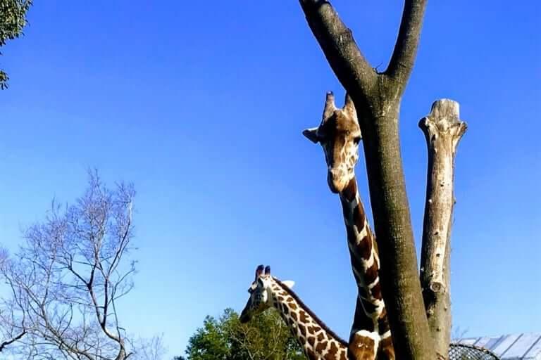 天王寺動物園キリン