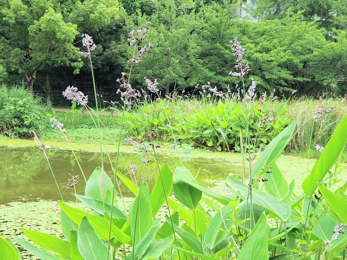 天王寺公園 水生花園